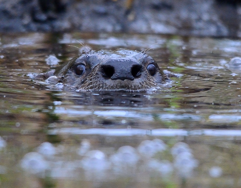 Otter or Hippo?