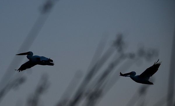 Pelicans Flying to New Feeding Ground
