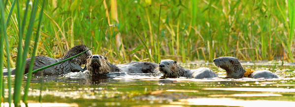 Otter Family Portrait