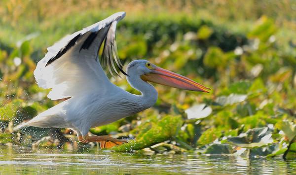 Backlit Pelican Taking Off 1