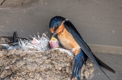 Barn Swallows feeding Young