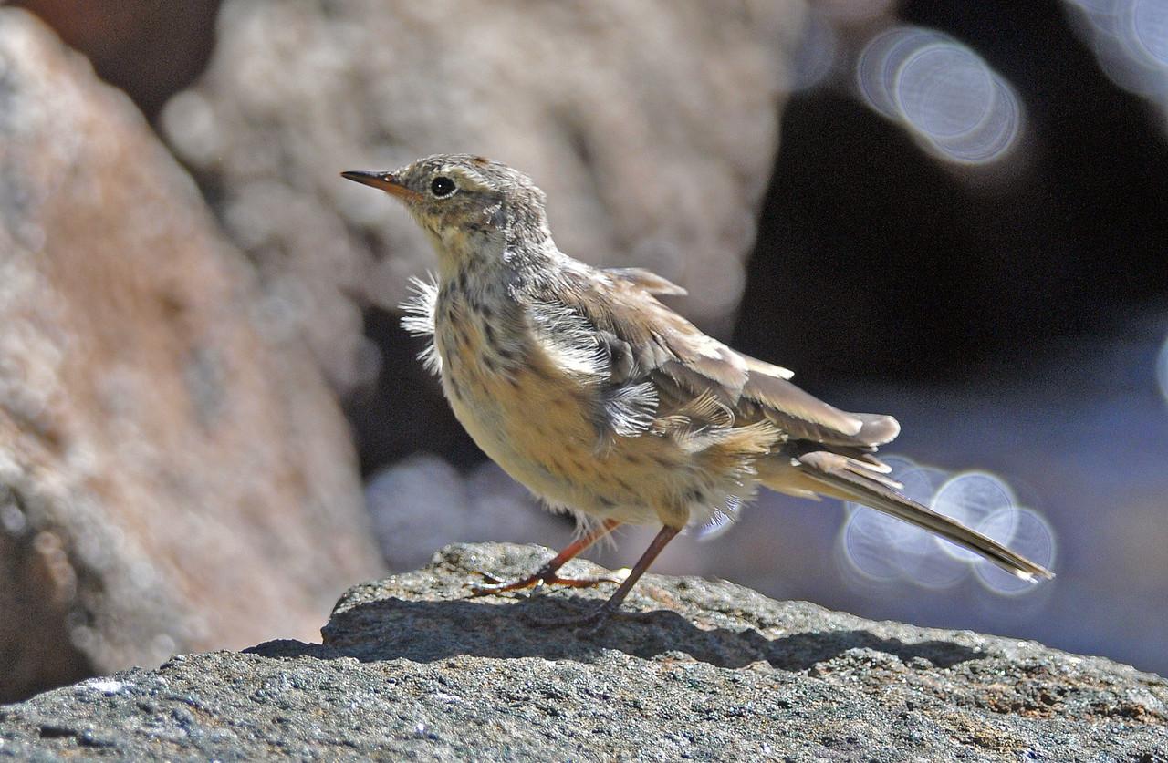 Cassins Finch