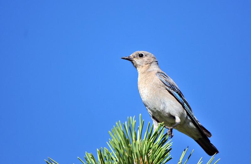 Western Bluebird female