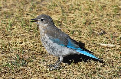 Western Bluebird  -- female