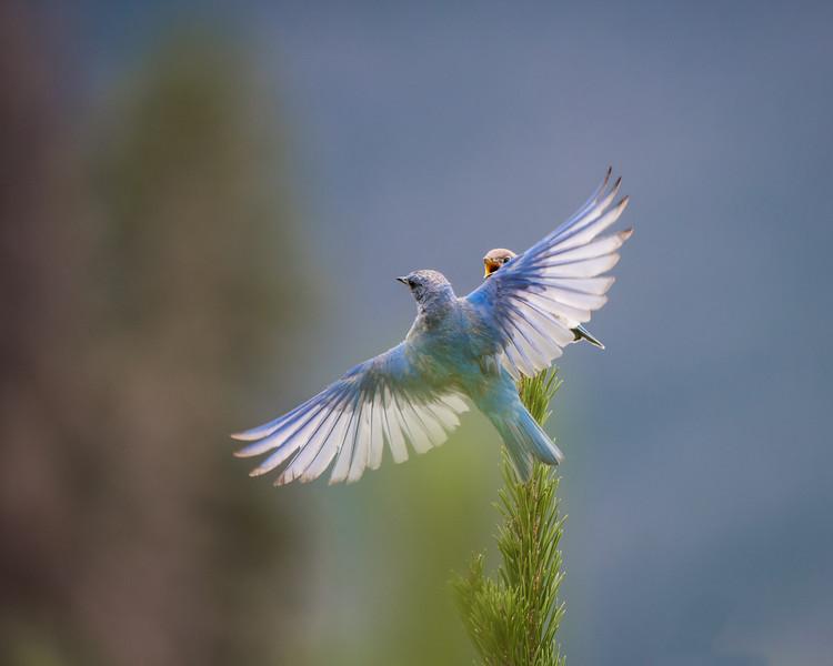 Mountain Bluebird (Male)
