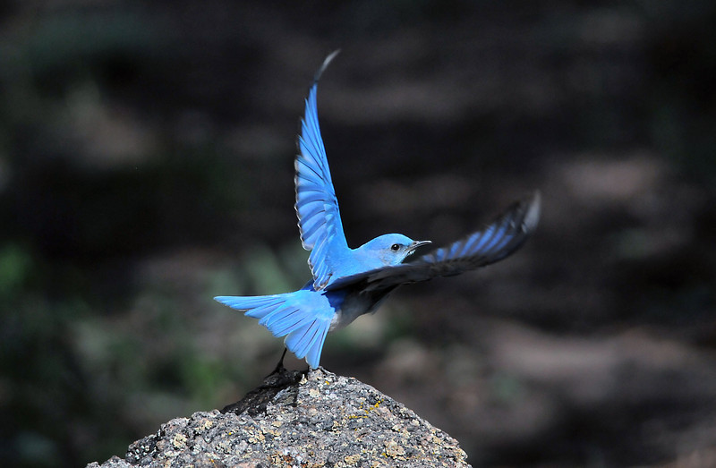 Western Bluebird -- male