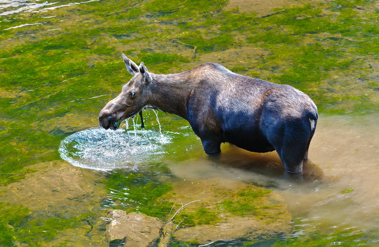 Moose at Lake Verna