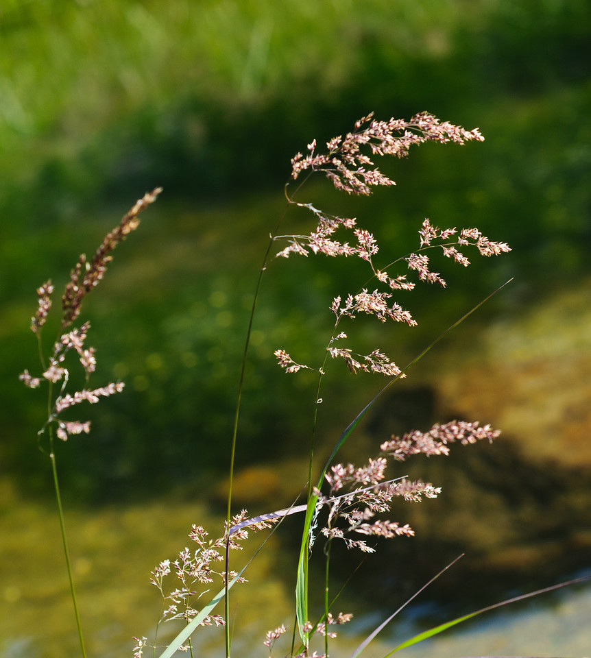 Mountain grasses blow in the afternoon winds at Fourth Lake