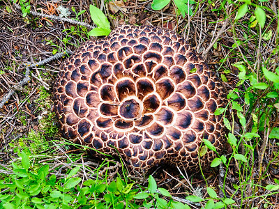 This is a Scaly Hydnum (Sarcodon Imbricatum).  It is edible, but should be tried with caution because it has made some people ill. Some find that it has a bitter taste.