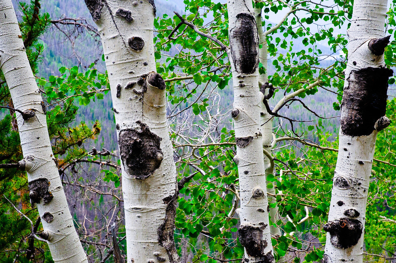 Aspen grow along the trail in the Cat's Lair zone