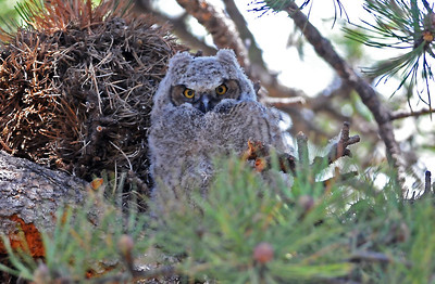 Great Horned Owls in Rocky