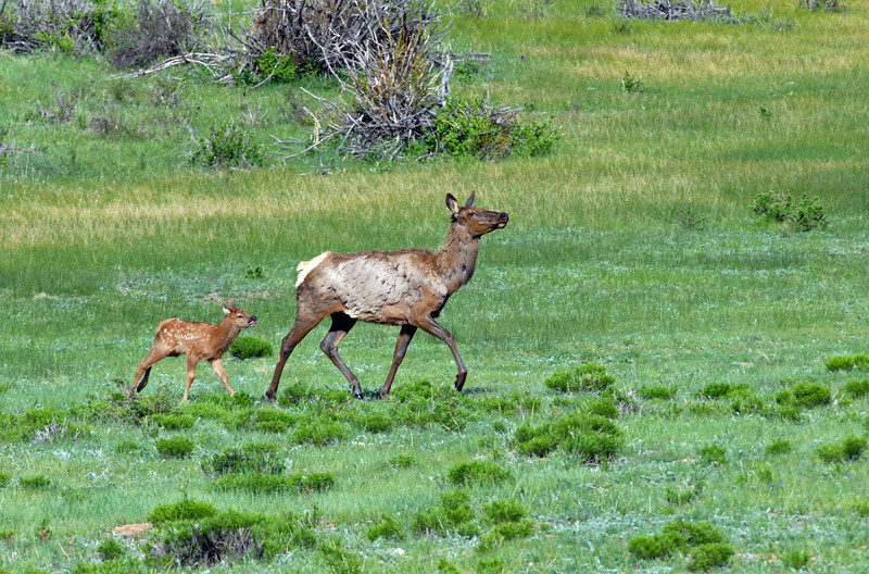 An elk calf, only a bit more than a week old, follows its mother across Beaver Meadows.