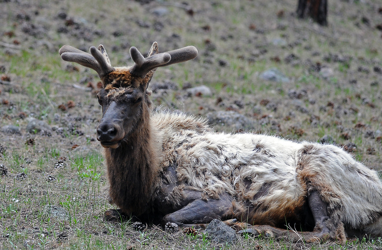 Bull elk in the process of regrowing his antlers after shedding them during the winter.  This bull is also shedding his winter coat in preparation for the warmer months ahead.