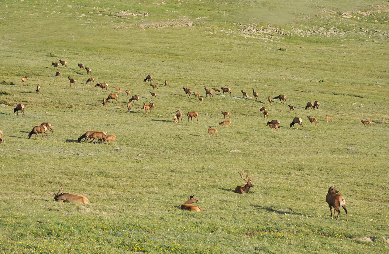 During the summer months large herds of elk can be seen on the tundra while driving along Trail Ridge Road.