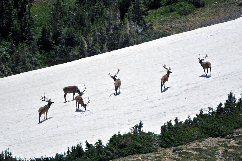 The elk use the high country to keep cool in the warmer summer months.  These bulls are enjoying a large snow bank in late July.