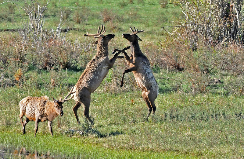 Young bulls practicing sparring  for when the get a bit older.