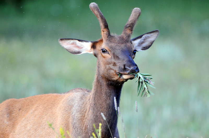 """Young bull elk commonly called a """"spike""""."""