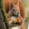 Red Suirrel - Egern