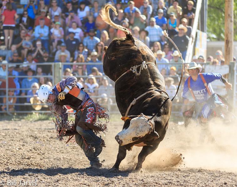 Bulls at Choteau Montana