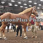 Draft Horse Futurity 002