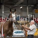 18Virden Draft Horse (34 of 100)