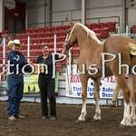18Virden Draft Horse (43 of 100)