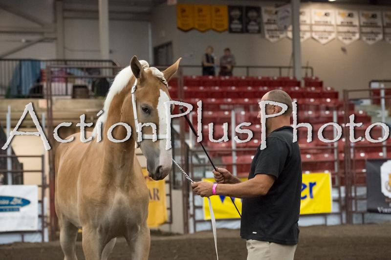 18Virden Draft Horse (33 of 100)