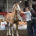 18Virden Draft Horse (41 of 100)
