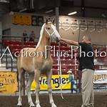 18Virden Draft Horse (36 of 100)