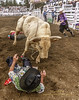 Bullfighter Danny Newman gets rolled by a bull.
