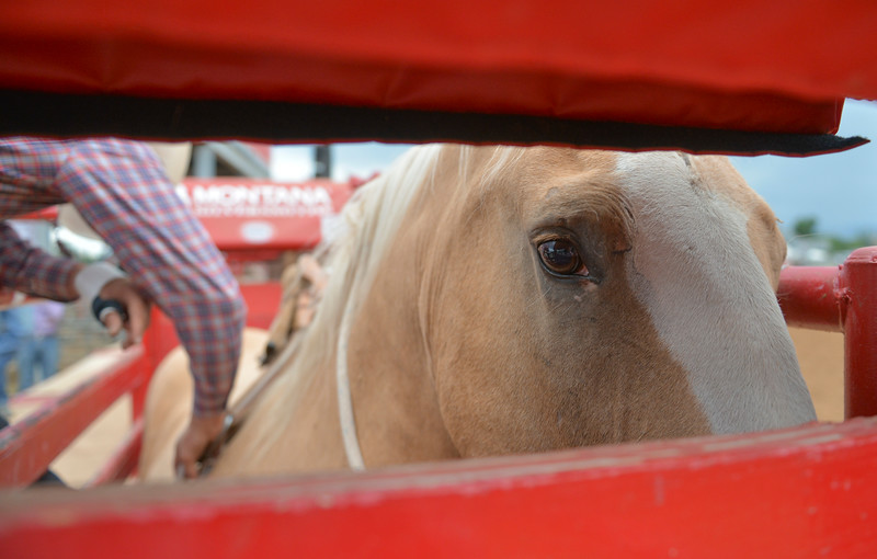 Justin Sheely | The Sheridan Press<br /> Exotic Blond looks out of the bucking chute as bareback riders strap on rigging during the Sheridan WYO Rodeo Saturday at the Sheridan County Fairgrounds.