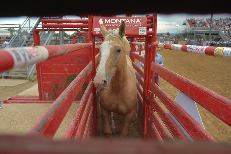 Justin Sheely | The Sheridan Press<br /> A horse named Exotic Blond enters the bucking chutes before bareback riding during the Sheridan WYO Rodeo Saturday at the Sheridan County Fairgrounds.
