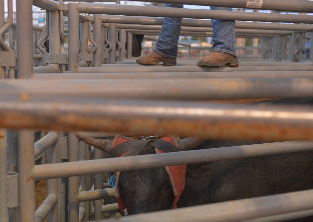 Justin Sheely | The Sheridan Press<br /> A volunteer helps get steers out to the roping chute during the Sheridan WYO Rodeo Saturday at the Sheridan County Fairgrounds.