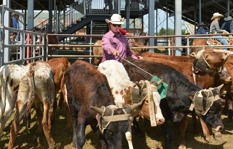 Justin Sheely | The Sheridan Press<br /> Bryson Miranda sorts steers behind the chute during the Sheridan High School Rodeo at the Sheridan County Fairgrounds Saturday, May 26, 2018.