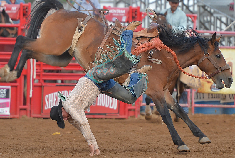 Justin Sheely | The Sheridan Press<br /> TJ Cox takes a tumble in saddle bronc riding event during the Sheridan County Rodeo Friday evening at the Sheridan County Fairgrounds. Performances continue Saturday at 1 p.m. and 7p.m. and Sunday at 1 p.m.