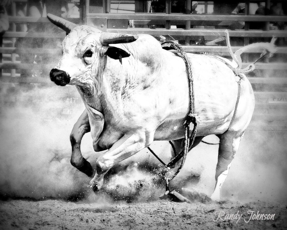 6038<br /> Albino Bull