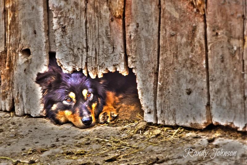 Dally Peek-a-boo Cow Dog
