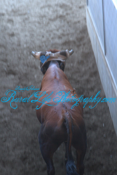 """4457<br /> When roping the roper waits for the steer to be released and the yell """" Halfway """"so they know when the steer is coming."""