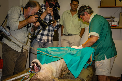 Photographing an operation on a lion during conservation activities in Phinda Private Game Reserve. KwaZulu Natal. South Africa.