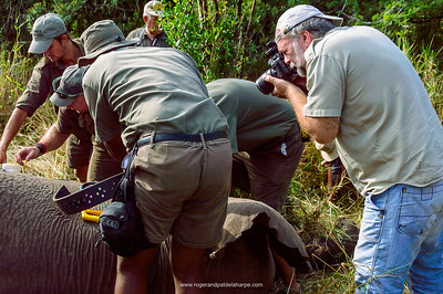 Elephant conservation.  KwaZulu Natal. South Africa