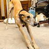 Rolo, a greyhound therapy dog owned by Leominster resident JoAnn Tunnessen, has been diagnosed with osteosarcoma, a bone disease that is fatal for greyhounds. SENTINEL & ENTERPRISE / Ashley Green