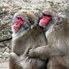 Japanese Monkeys 2