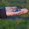 Blueberries, their first crop