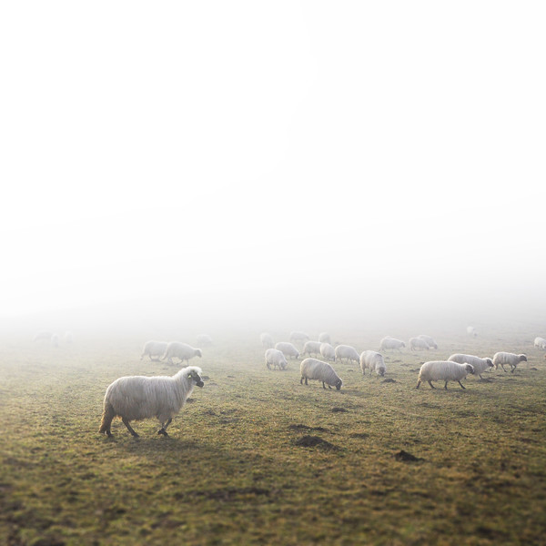 Sheep Grazing in the Fog. 2018.
