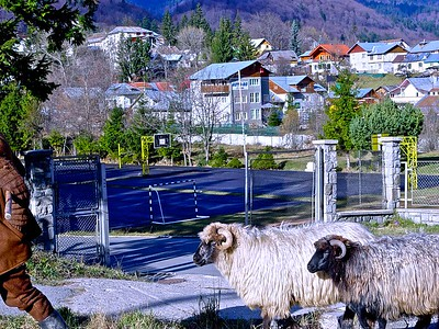 Romanian Sheep on the way home from the fields