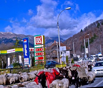 Sheep on the main highway between Bucharest and Brasov
