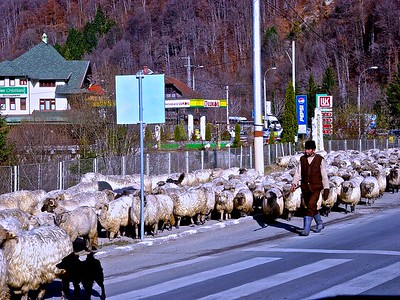 Shepherd with their sheep on a main Romanian Highway
