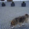 This fuzzy dog was our personal ambassador to Transylvania - always on the main square in front of our hotel.