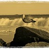 Seagull and surf