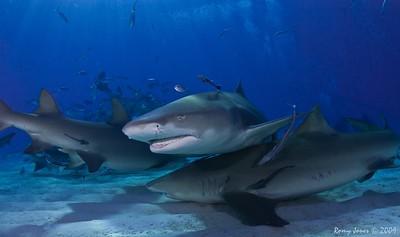 Dolphins_Sharks at Tiger Beach 2009